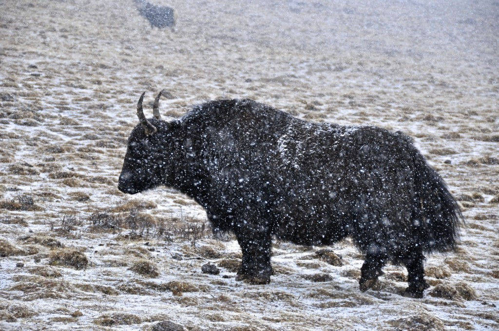 Yak grazing in the snow
