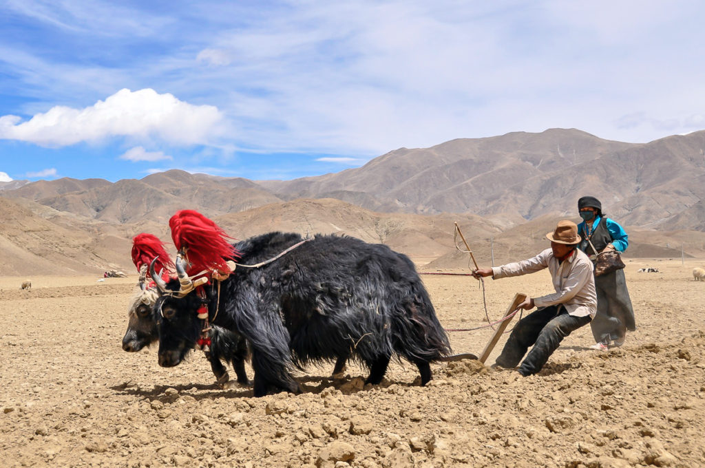 Tibetan farmers using yaks to plow their fields